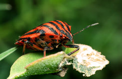 Rode en zwarte gestreept stinkt insect Royalty-vrije Stock Foto