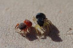 Rode en zwarte het springen spinnen Royalty-vrije Stock Fotografie