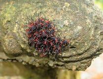 Rode en zwarte insecten Stock Afbeelding