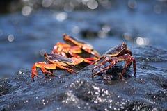 Rode en zwarte krabben op natte rotsen royalty-vrije stock afbeeldingen