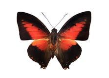 Rode en zwarte vlinder Royalty-vrije Stock Fotografie