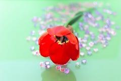 Rode Enige Tulip Flower Closeup Royalty-vrije Stock Fotografie