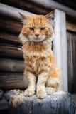 Rode ernstige kat Stock Foto's