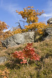 Rode esdoorn Stock Foto's