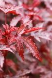 Rode esdoorn Royalty-vrije Stock Fotografie