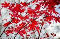 Rode esdoorn stock fotografie