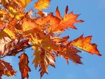 Rode esdoorn bij de herfst stock foto