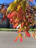 Rode Esdoorn die in de lente bloeien Stock Foto's