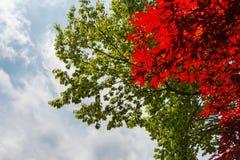 Rode esdoorn en groene bladeren van de bomen met bewolkte blauwe hemel Stock Afbeeldingen