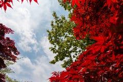 Rode esdoorn en groene bladeren van de bomen met bewolkte blauwe hemel Royalty-vrije Stock Afbeelding