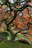 Rode esdoorn, Japanse tuin Royalty-vrije Stock Afbeelding