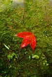 Rode Esdoorn lea? Royalty-vrije Stock Foto's
