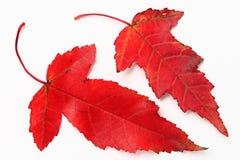 Rode esdoorn leavs Royalty-vrije Stock Afbeelding