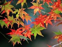 Rode esdoorn met de achtergrond van Japan Stock Foto's