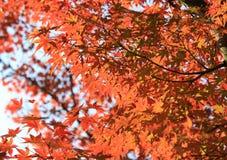 Rode esdoorn met de achtergrond van Japan Stock Foto