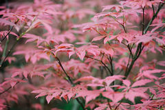 Rode esdoornbladeren Stock Foto's