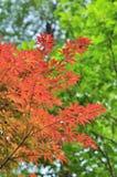 Rode esdoornbladeren Royalty-vrije Stock Foto