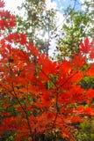 Rode Esdoornbladeren. Stock Afbeelding