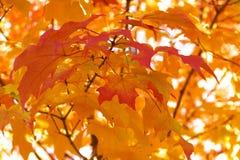 Rode esdoornbladeren Royalty-vrije Stock Foto's