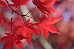 Rode esdoornbladeren Stock Afbeeldingen