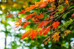 Rode esdoornbladeren Stock Fotografie