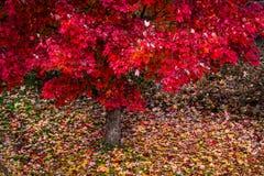 Rode esdoornbladeren Stock Foto