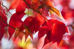 Rode Esdoornbladeren in de Herfst Stock Afbeeldingen