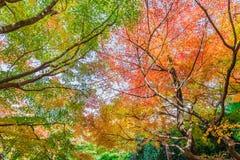 Rode esdoornbladeren in de herfst royalty-vrije stock afbeelding