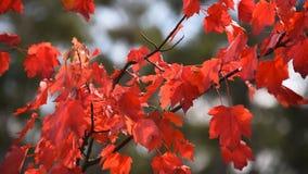 Rode esdoornbladeren die zich op wind bewegen stock video