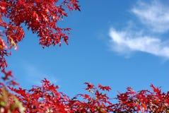 Rode esdoornbladeren en blauwe hemel stock foto's