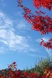 Rode esdoornbladeren en blauwe hemel stock afbeelding