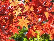Rode esdoornbladeren, Kyoto Japan Stock Afbeeldingen