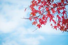 Rode esdoornbladeren met blauwe hemel en wolk in de Herfstseizoen royalty-vrije stock foto's
