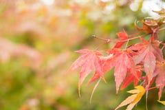 Rode esdoornbladeren met onduidelijk beeldachtergrond in de Herfstseizoen stock afbeeldingen