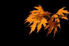 Rode bladeren Stock Afbeeldingen
