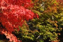 Rode esdoornbladeren tijdens gebladerte in de herfst Stock Foto