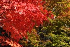 Rode esdoornbladeren tijdens gebladerte in de herfst Royalty-vrije Stock Foto's