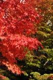 Rode esdoornbladeren tijdens gebladerte in de herfst Royalty-vrije Stock Afbeelding