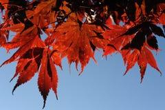 Rode esdoornbladeren tijdens gebladerte in de herfst Stock Foto's