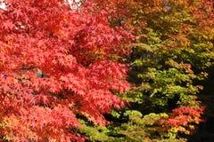 Rode esdoornbladeren tijdens gebladerte in de herfst Stock Afbeelding