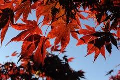 Rode esdoornbladeren tijdens gebladerte in de herfst tegen blauwe hemel Royalty-vrije Stock Foto