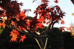 Rode esdoornbladeren tijdens gebladerte in de herfst tegen blauwe hemel Stock Foto