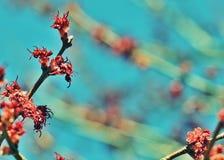Rode esdoornbloei Stock Foto