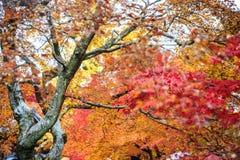 Rode esdoornbomen in een Japanse tuin Royalty-vrije Stock Fotografie