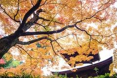 Rode esdoornbomen in een Japanse tuin Royalty-vrije Stock Afbeeldingen