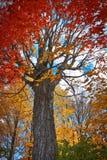 Rode esdoornboom in de herfst Stock Afbeeldingen