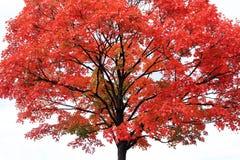 Rode esdoornboom op lichtgrijze achtergrond Stock Foto's