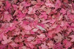 Rode Esdoorndaling gevallen bladeren op een zonnige dag stock afbeeldingen