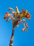 Rode esdoornkatjes tegen blauwe hemelachtergrond Royalty-vrije Stock Foto