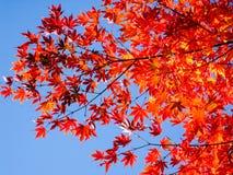 Rode esdoorns en blauwe hemel Stock Afbeelding